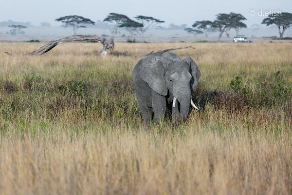 elephant Stripe