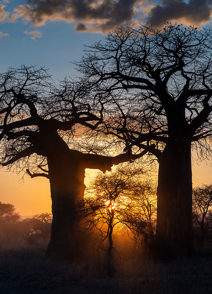 """The majestic baobab tree is an icon of the African continent and lies at the heart of many traditional African remedies and folklore.  The baobab is a prehistoric species which predates both mankind and the splitting of the continents over 200 million years ago. Native to the African savannah where the climate is extremely dry and arid, it is a symbol of life and positivity in a landscape where little else can thrive.  Over time, the Baobab has adapted to its environment. It is a succulent, which means that during the rainy season it absorbs and stores water in its vast trunk, enabling it to produce a nutrient-dense fruit in the dry season when all around is dry and arid. This is how it became known as """"The Tree of Life"""".  Baobab trees grow in 32 African countries. They can live for up to 5,000 years, reach up to 30 metres high and up to an enormous 50 metres in circumference. Baobab trees can provide shelter, food and water for animals and humans, which is why many savannah communities have made their homes near Baobab trees.   Tarangire, Tanzania, 2019."""
