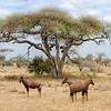 Antelope Tree