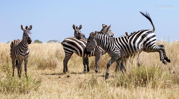 Bucky the Zebra