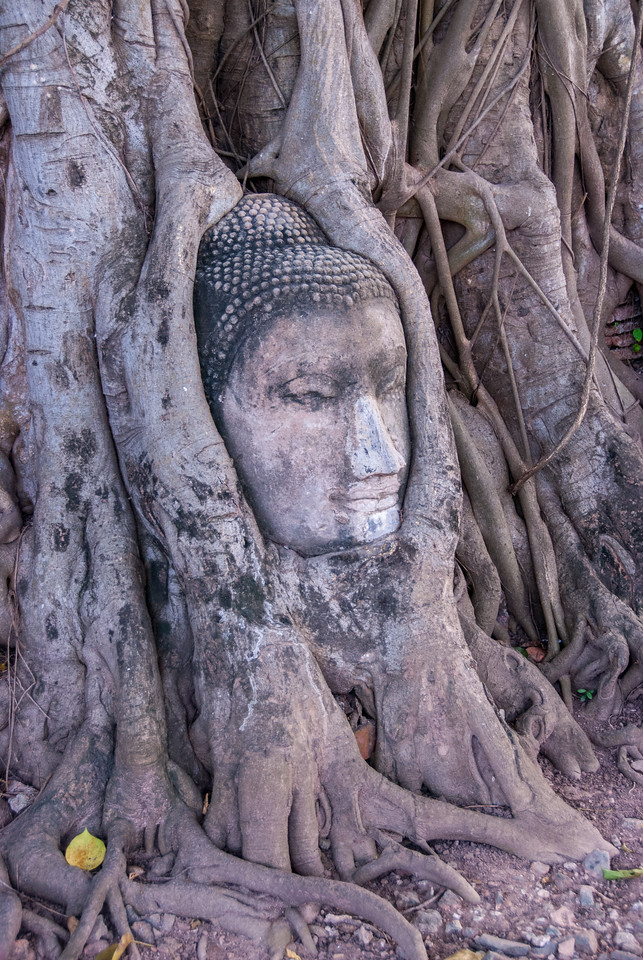 At Wat Mahathat is the famed Buddha head surrounded by old tree roots. A Buddhist temple in Ayutthaya, Central Thailand.