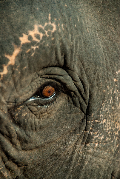Close up of an elephant used for tourist-rides in Ayutthaya, Thailand.