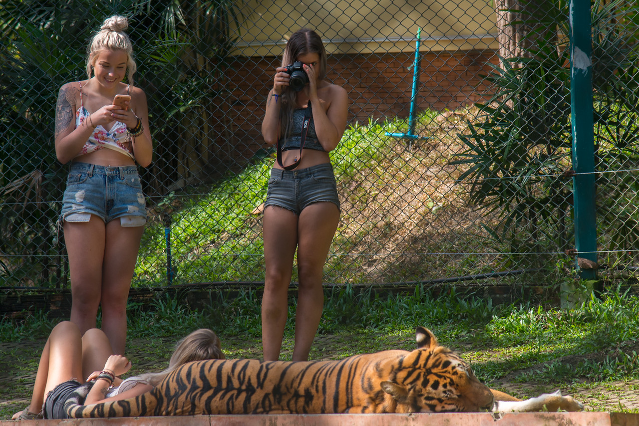 Tourists take photos with the tigers under supervision. Tiger Kingdom Thailand (Chiangmai Maerim) <br /> Visitors interact with young & adult cats in trainer-supervised enclosures.<br /> <br /> The Tiger Kingdom is a great place to see tigers up close and interact with them. A sort of combo of tourism with wildlife preservation (as the place supports tigers). Tiger population in Thailand has been decreasing. So this is a safe place to learn and interact. Don't believe the fake-news and rumors of tigers being drugged etc. From what we saw (as visitors) I don't think that is true. The tiger-human-handler interaction looked warm and friendly.