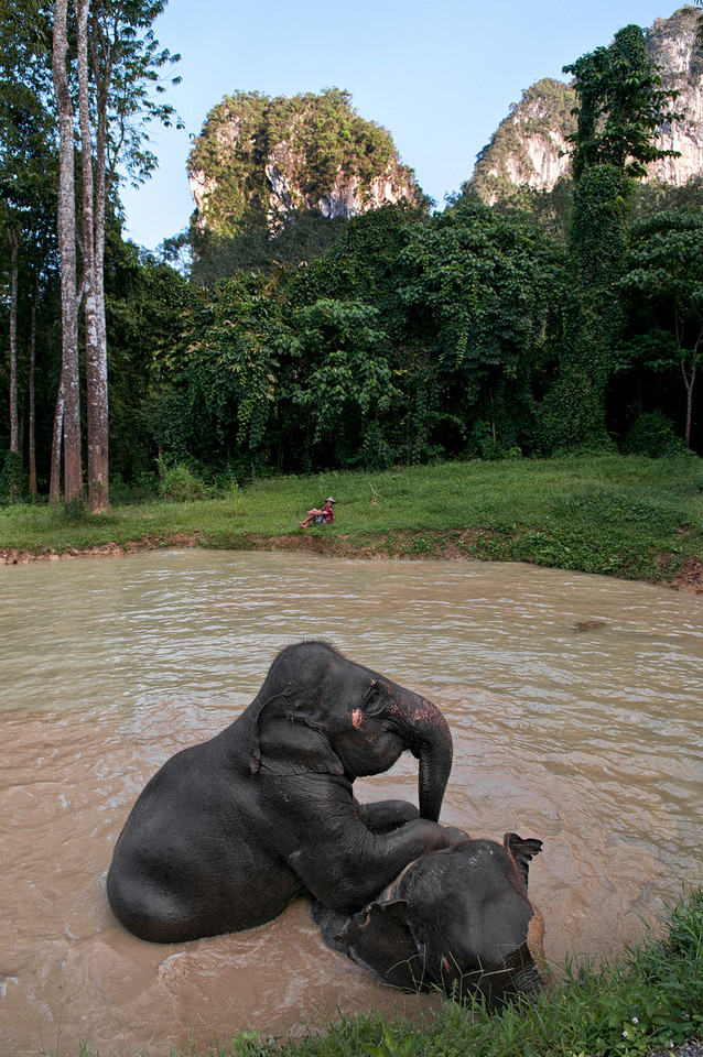 Mahout keeps a close eye on his elephants.<br /> <br /> Hat Thai, Thailand, 2012.