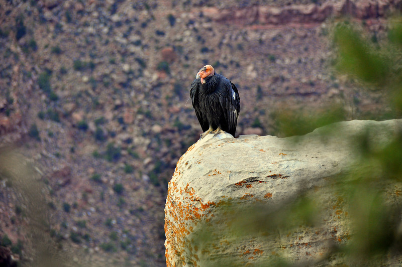One of Arizona and Utah's 77 Condors<br /> <br /> Grand Canyon