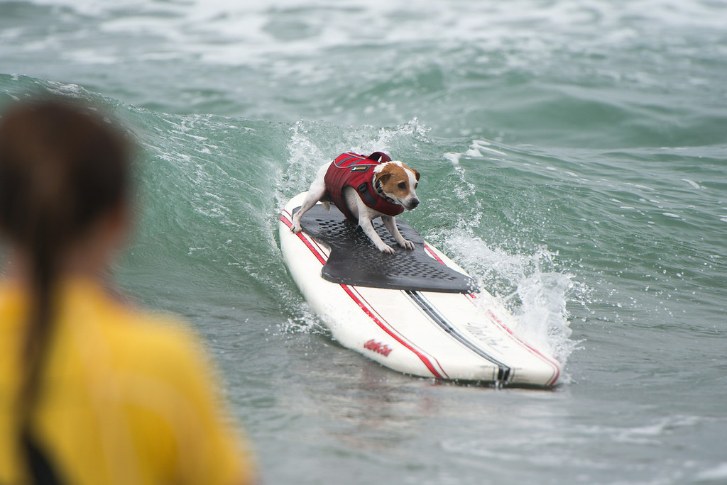 He's coming in from the surf.  Photo courtesy Unleashed by Petco.
