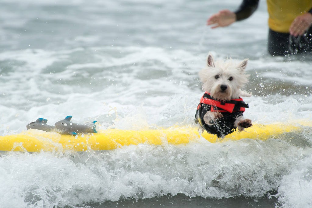 Petco Surf Dog Competition