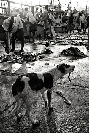 A dog grabs a bite to eat at the Unawatuna fish market.  Unawatuna, Sri Lanka, 2014.