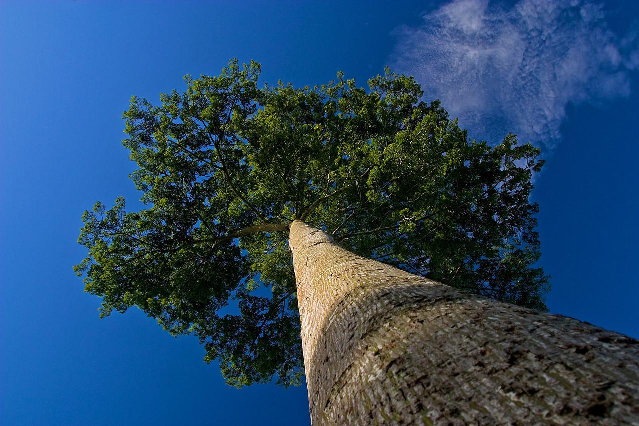Ceiba tree in Toledo, Southern Belize.