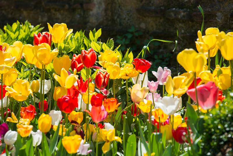 Tulip Festival in Istanbul, Turkey.