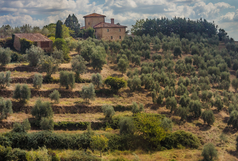 Tuscan Olive Trees