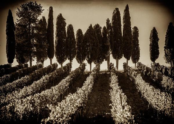 Tuscan Cypress Trees