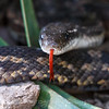 Texas Rat Snake or Gray rat Snake