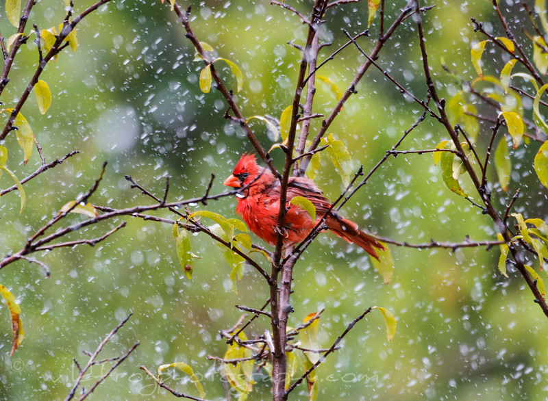 Male Cardinal making the best of the rain