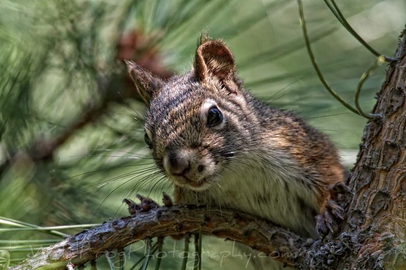 Squirrel in tree Flathead lake