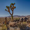 Lone Joshua tree looking over the Valley - Joshua Tree National Park