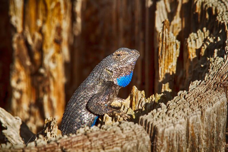 California Fence Lizard