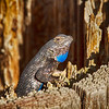 California Fence Lizard