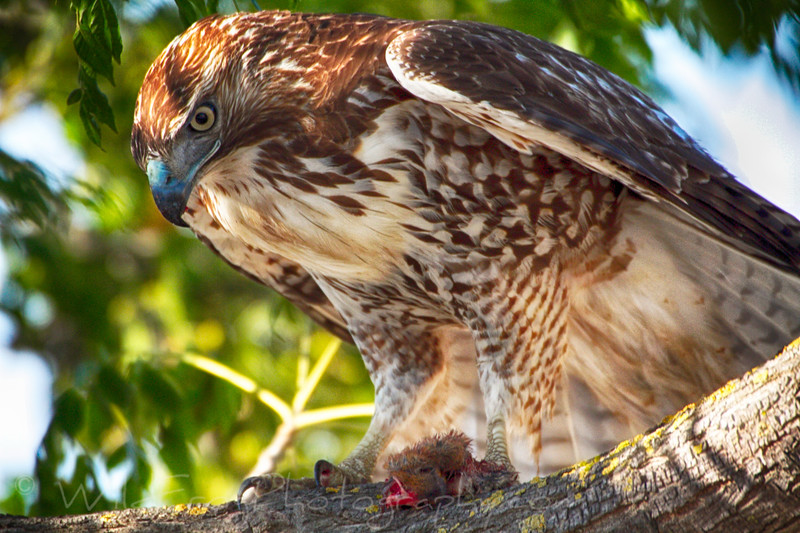 Red tailed Hawk and his catch