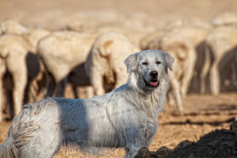 Maremma Sheepdog on lookout