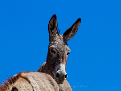 wild burro next to the Colorado river Arizona