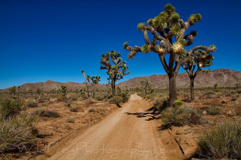 Joshua trees beside the dirt road - Joshua Tree National Park