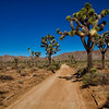 Joshua trees beside the dirt road - Joshua Tree National Park