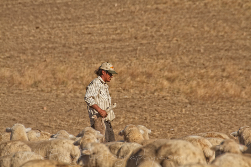 Shepherd carrying a lamb to the side on the herd