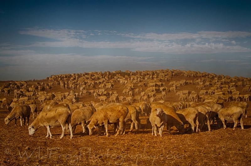 Peruvian Shepherd and his Sheep feed in the hills around Menifee CA