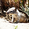 Baby California Ground squirrel