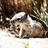 Baby California Ground squirrel
