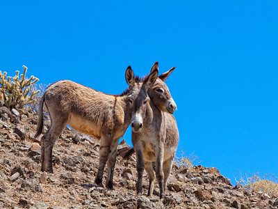 Wild Burros next to the Colorado river Arizona mother and baby