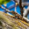 Western Fence Lizard in Tree