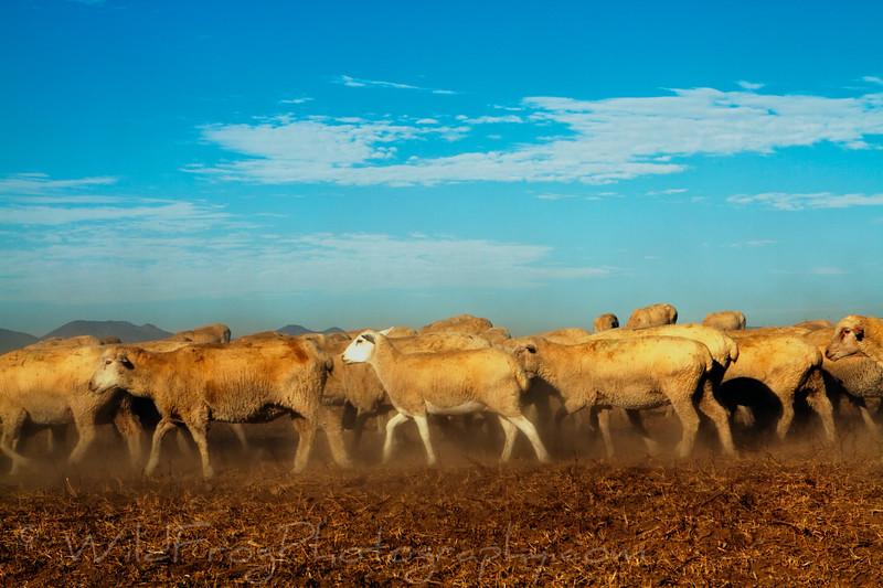 Peruvian shepherds sheep grazing on the hills near Menifee CA