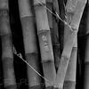 Bamboo - Botanical Gardens - Huntington Library