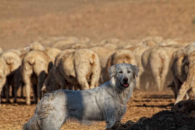 Maremma Sheepdog on lookout over the herd