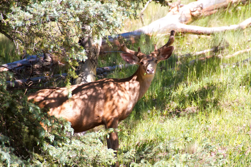 Mule deer looking out from the shade of the trees
