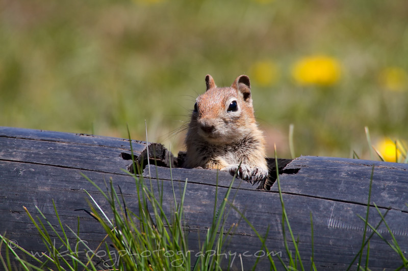 Chipmunk looking out of old pipe
