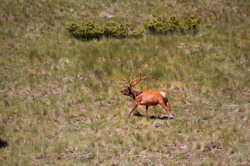 Bull elk running across open area between Aspen groves