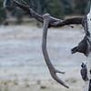 Old Elk antler