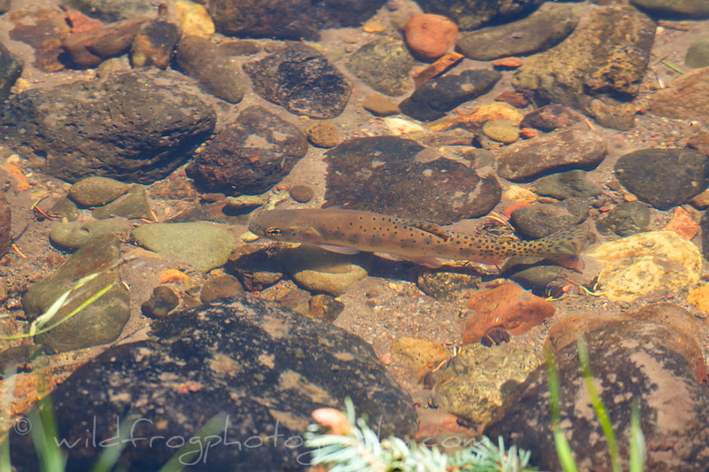 Small Cutthroat trout resting - Carson Nation Forest