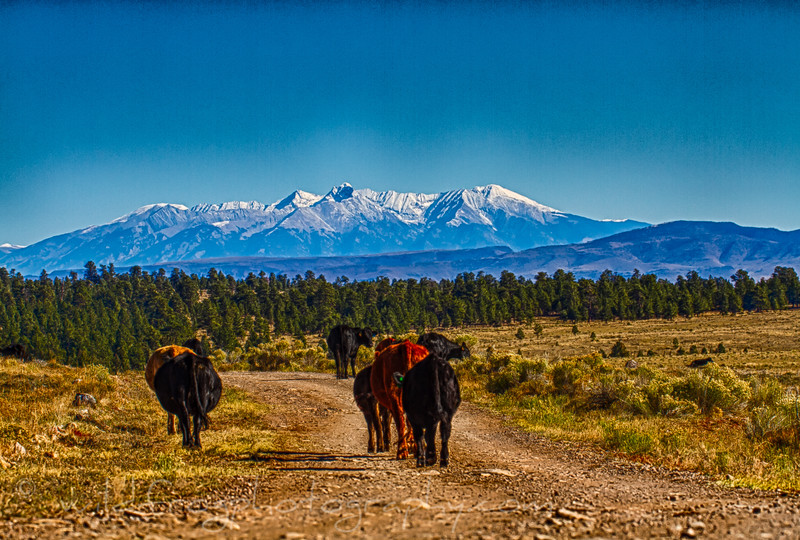 Cattle on the Move, looking north into Colorado from New Mexico