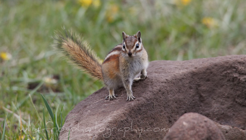 Young Chipmunk keeping an eye on things from his rock