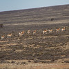 Pronghorn on the open plains of Carson National Forest - New Mexico