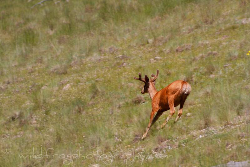 Mule deer on the run