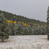 Golden line of Aspens in the pines