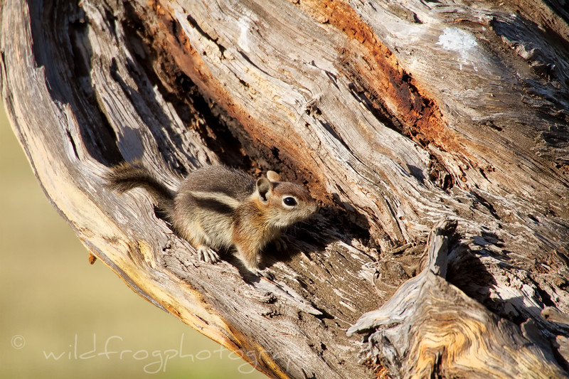 Young Chipmunk resting on old tree stump.
