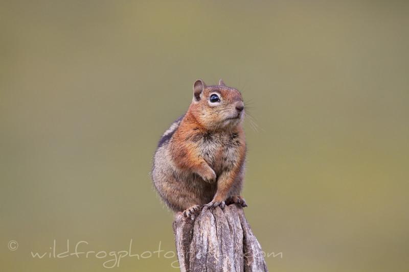 Fat Chipmunk sitting on a post