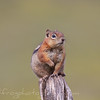 Fat Chipmunk sitting on a post