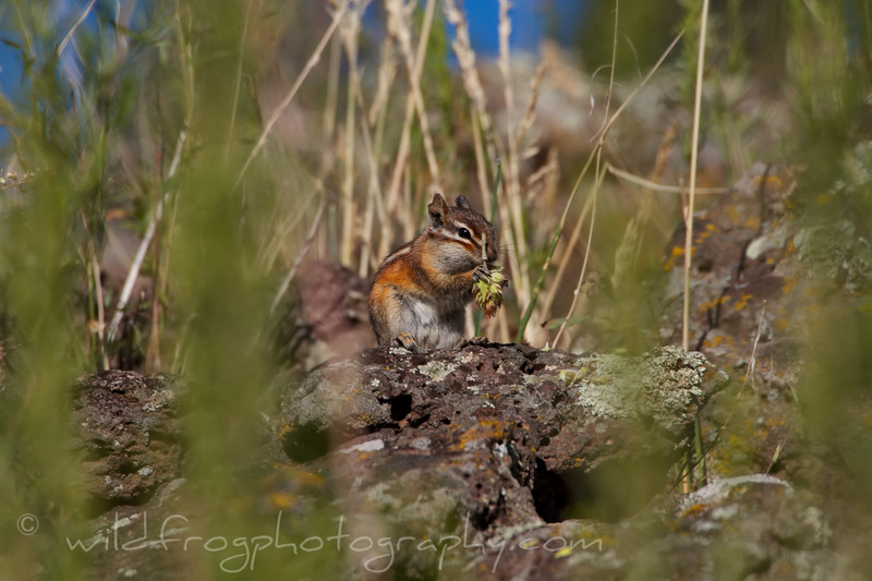 Young Chipmunk eating a flower